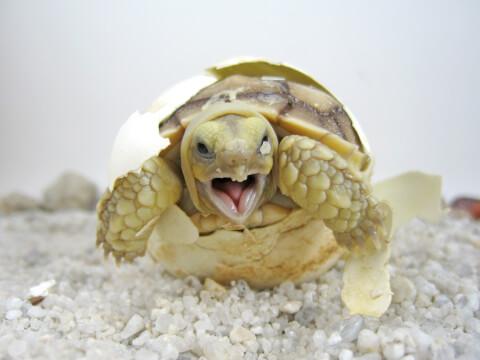 卵からふ化するケヅメリクガメ