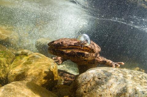 オオサンショウウオ ぬいぐるみ 水族館 食べる 生息地 寿命