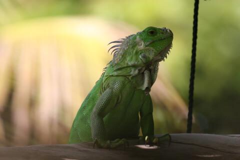 グリーンイグアナ