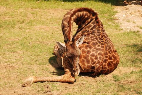 キリン 飼育 餌 輸入 業者 ペット 性格