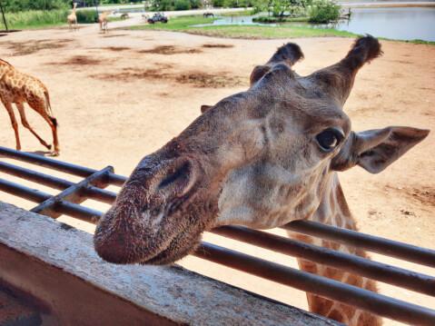 注意 キリン 飼育 餌 輸入 業者 ペット 性格
