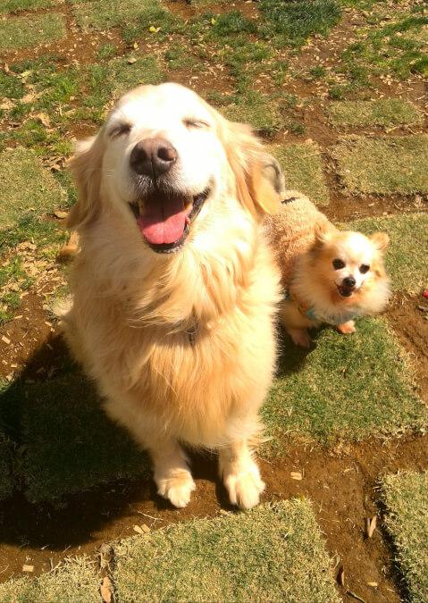 ゴールデン 愛犬