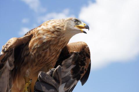 golden_eagle_01_3