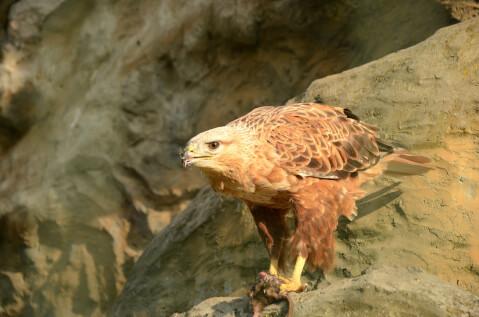 golden_eagle_01_1