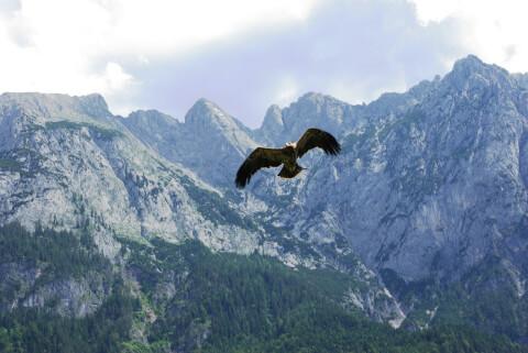 golden_eagle_01_10