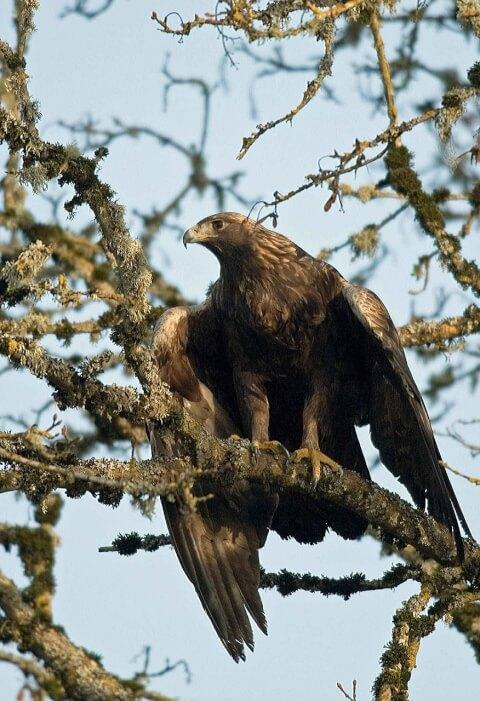 golden_eagle_01_11