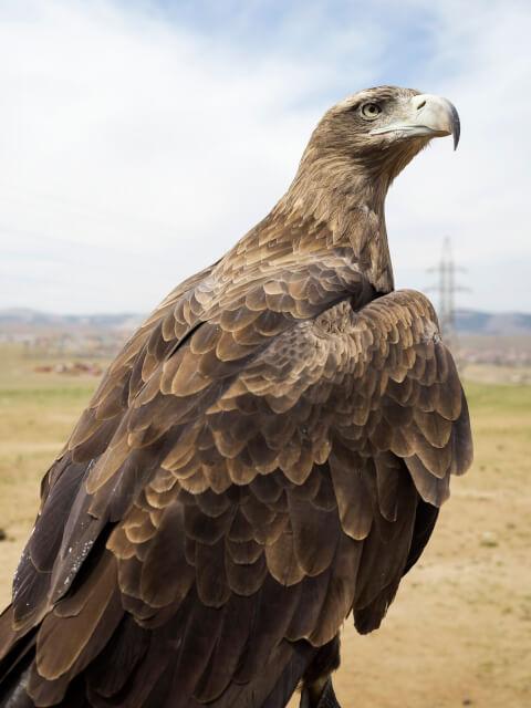 golden_eagle_01_15