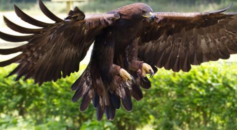 golden_eagle_01_16
