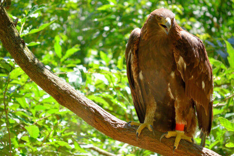 golden_eagle_01_19