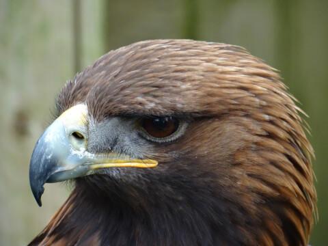 golden_eagle_01_2