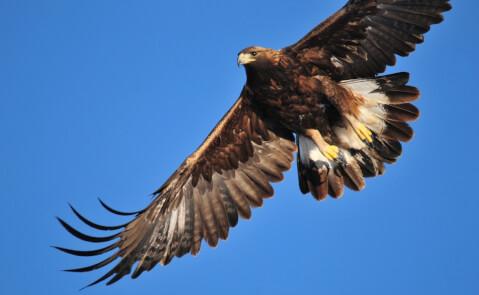golden_eagle_01_5