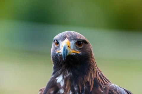 golden_eagle_01_8