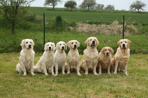 golden_retriever2