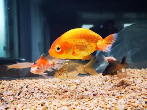 goldfish ペット 金魚