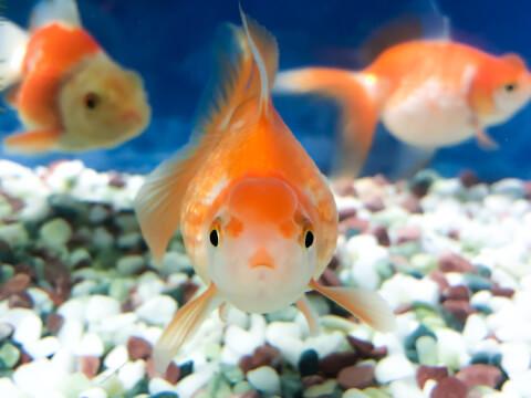 goldfish 金魚 小動物 ペット