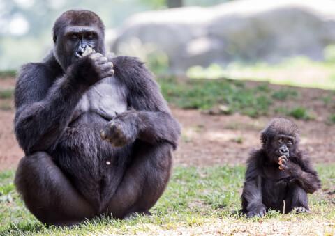 横並びのゴリラの親子