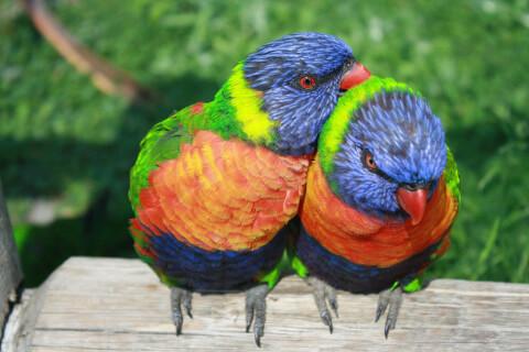 体を寄せ合う2羽のゴシキセイガイインコ