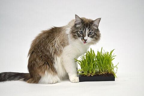 cat-grasse