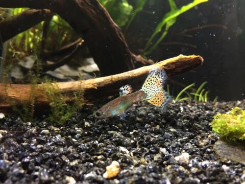 グッピー 小動物 ペット 魚