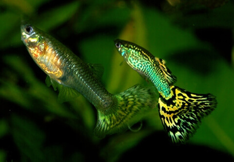guppy_male_female