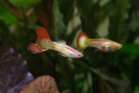 guppy_pair
