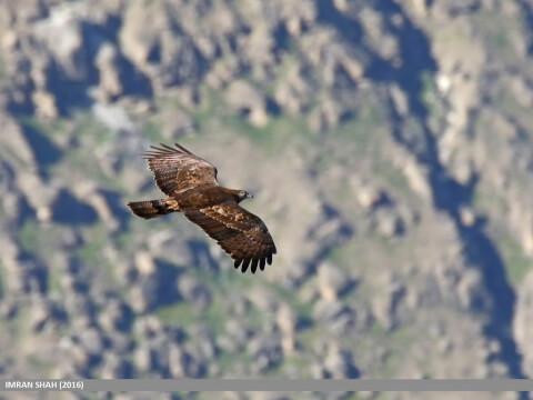 山地をバックに飛ぶハチクマ