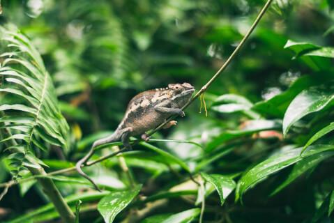 枝の上のコノハカメレオン