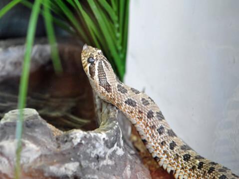 セイブシシバナヘビの顔アップ