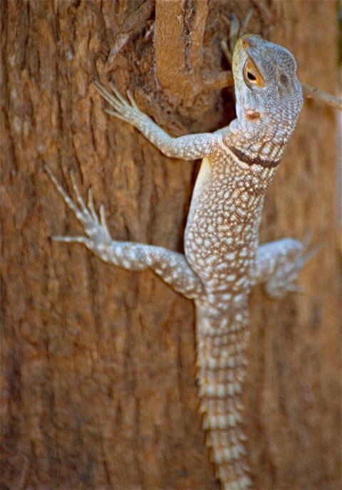 マダガスカルミツメイグアナ