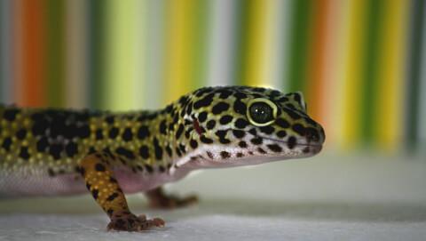 gekko-