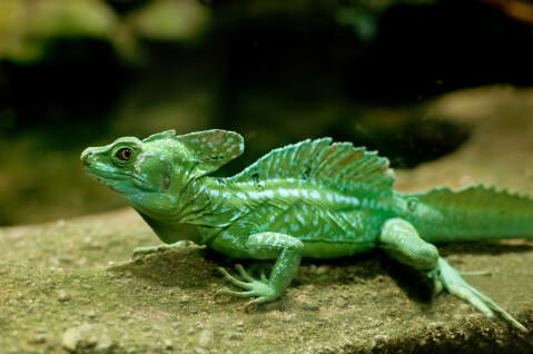 グリーンバシリスク ペットにおすすめの爬虫類、人気の種類