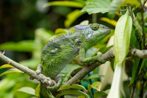 スパイニーカメレオン ペットにおすすめの爬虫類、人気の種類