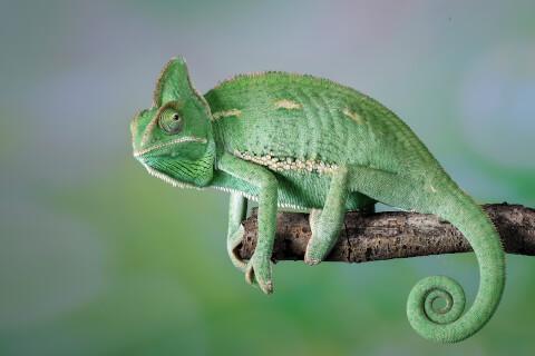エボシカメレオン ペットにおすすめの爬虫類、人気の種類