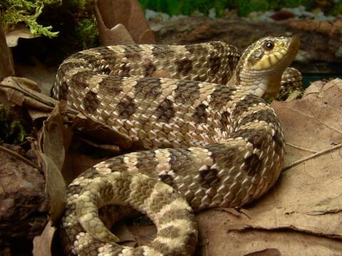 セイブシシバナヘビ ペットにおすすめの爬虫類、人気の種類