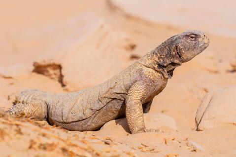 トゲオアガマ ペットにおすすめの爬虫類、人気の種類