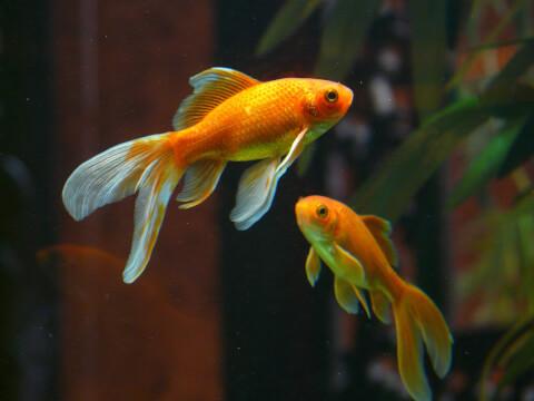 金魚 白点病
