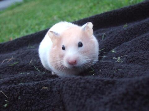 hamstersiro