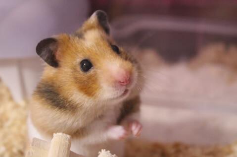 小動物 ペット ハムスター