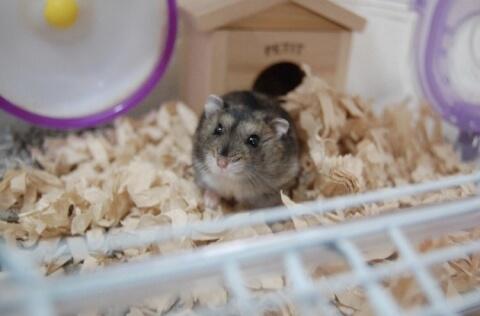 ハムスター 小動物 ペット