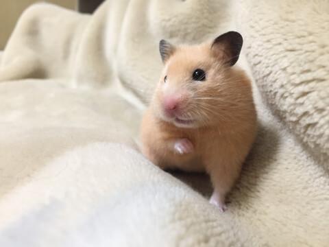 毛布の上にいるキンクマハムスター