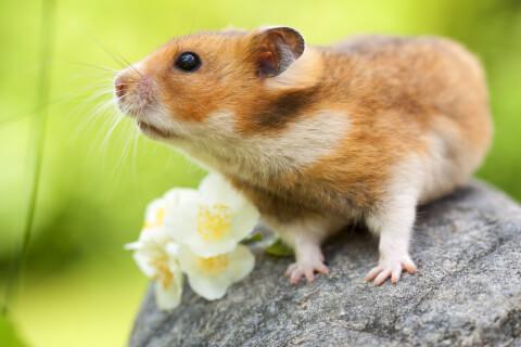 ハムスター 値段 種類 寿命 飼育 飼いやすい
