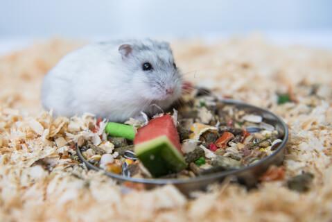 シルバーパール ハムスター 値段 種類 寿命 飼育 飼いやすい