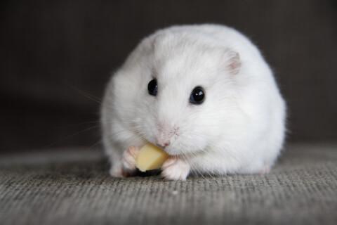 パールドワーフ ハムスター 値段 種類 寿命 飼育 飼いやすい
