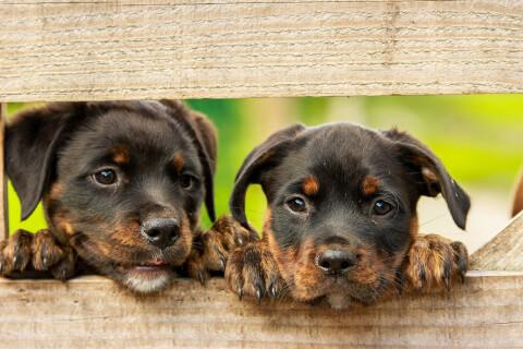 ロットワイラーの子犬2匹