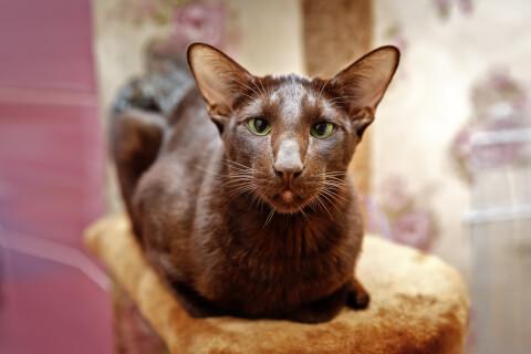 ハバナブラウン 猫 値段 性格 飼い方