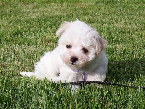 芝生にいる白いハバニーズの子犬