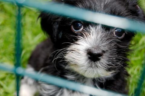 白黒ハバニーズの子犬