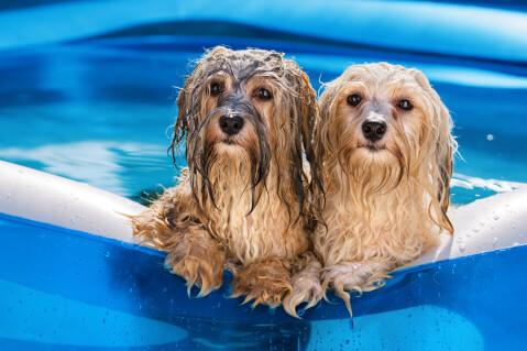 水浴びちゅうのハバニーズ2匹