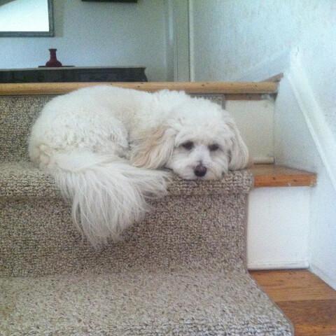 階段で伏せるハバニーズ