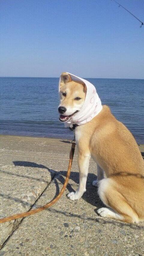 ほっかむりの柴犬